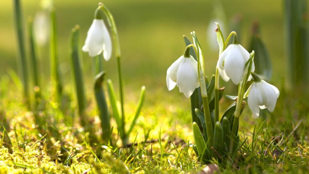 snowdrop_flower